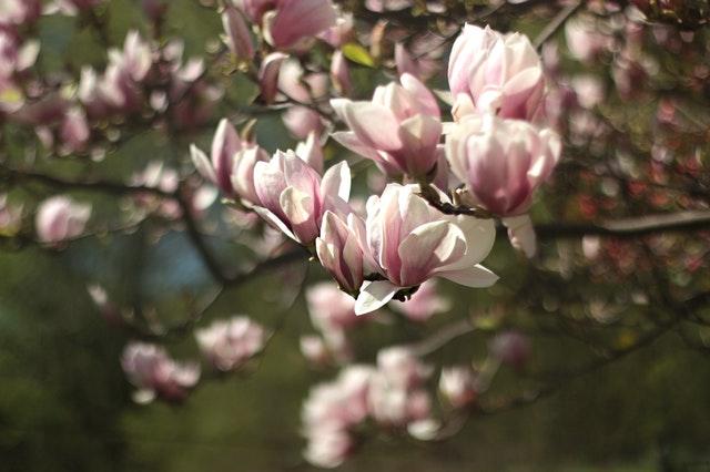 the magnolias