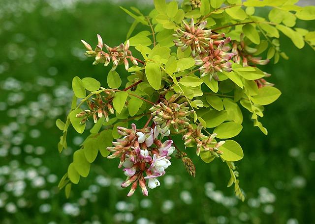 Trees for dry - Locust