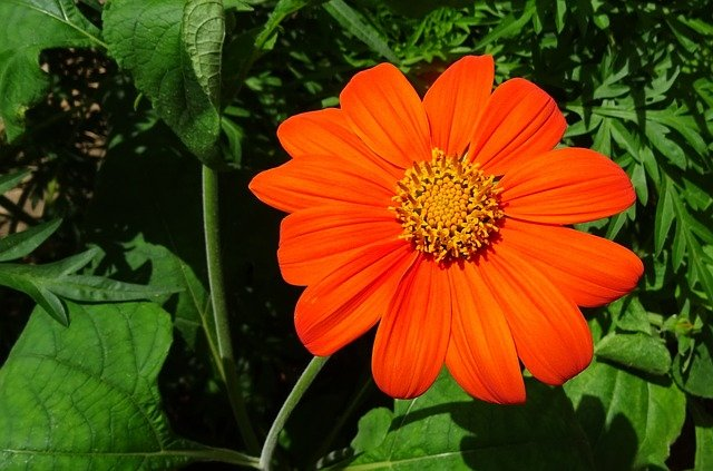 Annuals in the garden - Mexican Sunflower