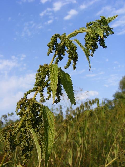 Trees for dry & sunny sites - Nettle tree