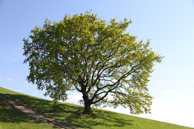 Non-Native Trees That Thrive In San Leandro