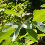 How to prune fig trees to avoid unhealthy growth? - 4 step Fig Tree Care